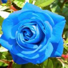 Light Blue Rose Plant Seed
