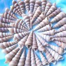 Turritella Turitella Spiral Seashells Shells Beachy Coastal Vase Filler Aquarium