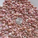 Tiny Mini Seashell Crafts Shells Vase Filler Umboniums Fairy Garden Pink Red