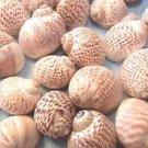15 Seashells Small Hermit Crab Shells Beachy Set Coastal Vase Filler Conch Sea