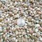 MINI Spiral Stripe Umbonium Seashells Mix Crafts Shell Vase Filler Fairy Garden