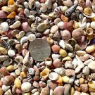 400 COLORFUL MINI Seashell Mix Crafts Shells Vase Filler Scrapbook Fairy Garden