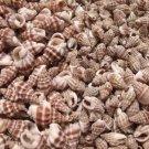 100 Phyrus Persica SEASHELLS Shells Craft Scrapbook Spiral Sailors Valentine Lot