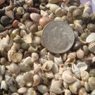 400 TINY MINI MIX Seashells Wedding Crafts Miniature Shells Fairy Garden White