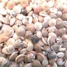 75 UMBONIUM SEASHELLS Mix Crafts Shells Scrapbook Umbodium Sailor's Valentine