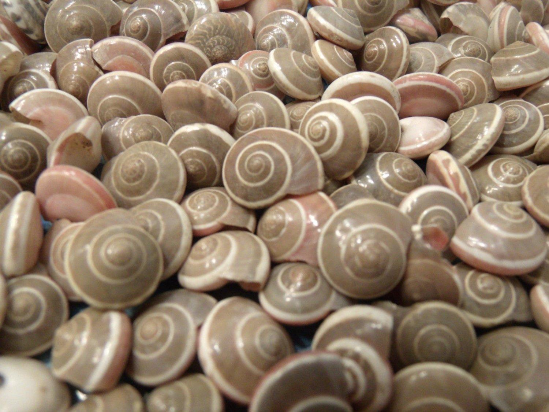 200 Spiral UMBONIUM SEASHELLS Shell Crafts Scrapbook Beach Sailors Valentine Mix