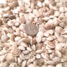 100 UMBONIUM SEASHELLS Mix Crafts Shells Vase Filler Umbodium Sailors Valentine