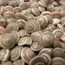 100 Spiral UMBONIUM SEASHELLS Shell Crafts Scrapbook Beach Sailors Valentine Mix