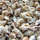 300 Persica SEASHELLS Shells Craft Scrapbook Sailors Valentine Day Spiral Mix Lo