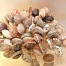 50 UMBONIUM SEASHELL TOOTHPICKS Shell Picks Scrapbook Wedding Beach Umbodiums