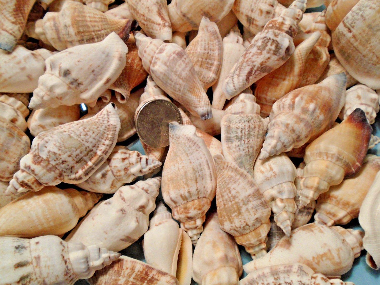 15 Chullas Seashells Crafts Chulla Shells Lot Wedding Beach Spiral Conch Large