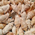 15 Chullas Seashells Crafts Chulla Shells Lot Wedding Beach Spiral Conch Large