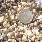 200 MINI TINY Seashells Mix Vase Filler Fairy Garden Moon Crafts Miniature Shell