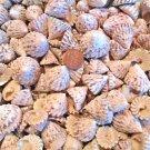 10 Trocus Troca Cone Seashells Crafts Shell Beach Wedding Vase Filler Jewelry
