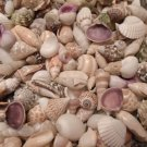 SEASHELL MIX Shell Crafts Vase Filler Sailors Valentine Small Spiral Conch Clams