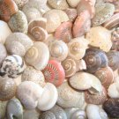 50 UMBONIUM SEASHELLS Mix Crafts Shell Scrapbook Umbodium Sailors Valentine