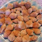 Canariums Seashells Spirals Crafts Shells Lot Wedding Mix Beach Spiral