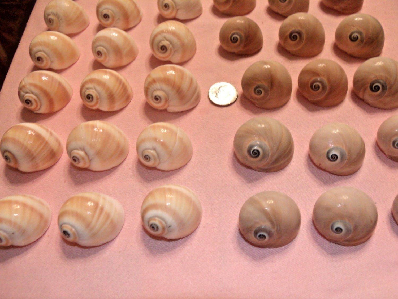 10 Small Shark Whale Eyes Seashells Crafts Shell Beach Aquarium Hermit Crab Lot