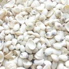 100 Mini White Pearl Seashell Mix Sea Shells Crafts Wedding Ark Umbonium Pong