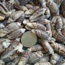 40 Brown Olive Seashells Crafts Chulla Shells Lot Wedding Beach Spiral Conch
