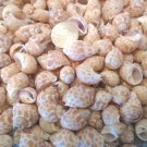 Small Spotted Babylonia Seashells Crafts Sea Shells Vase Filler Beach Decor