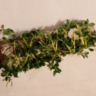 California White Sage with Lemon Thyme-USA grown-FREE Shipping