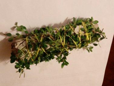 California White Sage with Lemon Thyme-USA grown-FREE Shipping