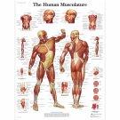 "The Human Musculature Chart  18""x28"" (45cm/70cm) Poster"