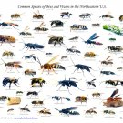 """Common Species of Bees and Wasps Chart 18""""x28"""" (45cm/70cm) Canvas Print"""