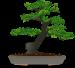 bonsai-seeds