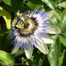 Passion Flower, Passiflora incarnata 1 oz