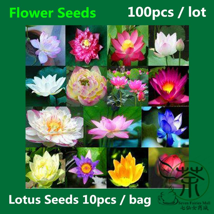 Water Lotus Seeds 100pcs Nelumbo Nucifera Seeds Pygmy Water Lily