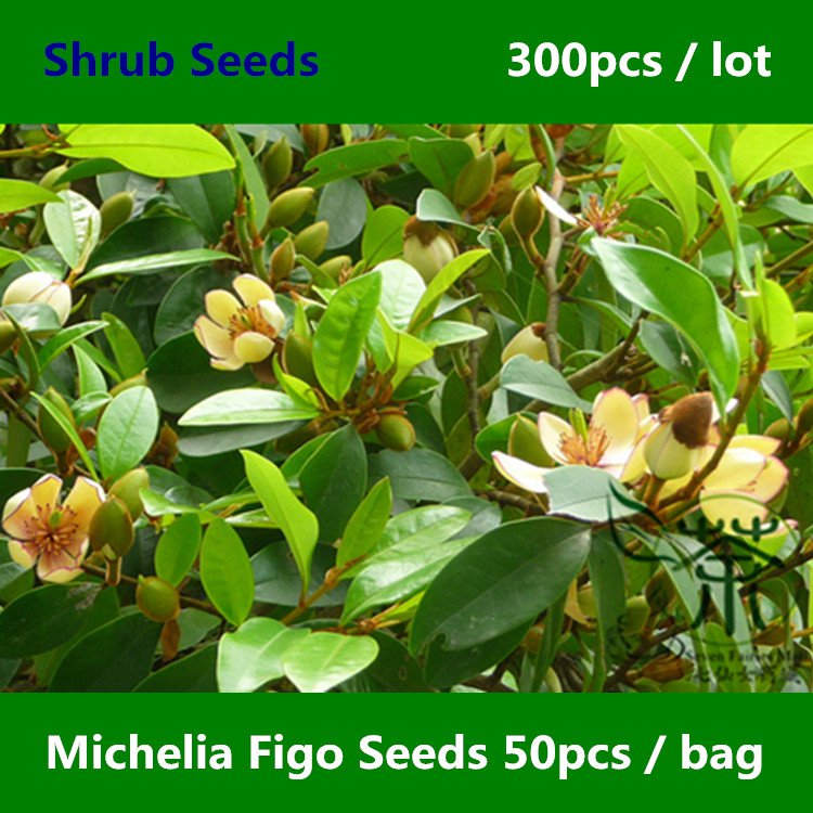 Magnolia Figo Seeds 300pcs Michelia Figo Banana Shrub Seeds