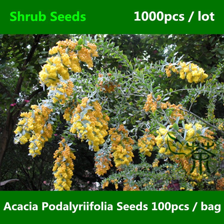 Acacia Podalyriifolia Seeds 1000pcs Mount Morgan Wattle Seeds