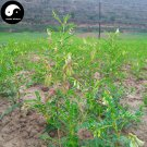 Buy Real Astragalus Seeds 200pcs Plant Medicinal Herbal Radix Astragali For Huang Qi