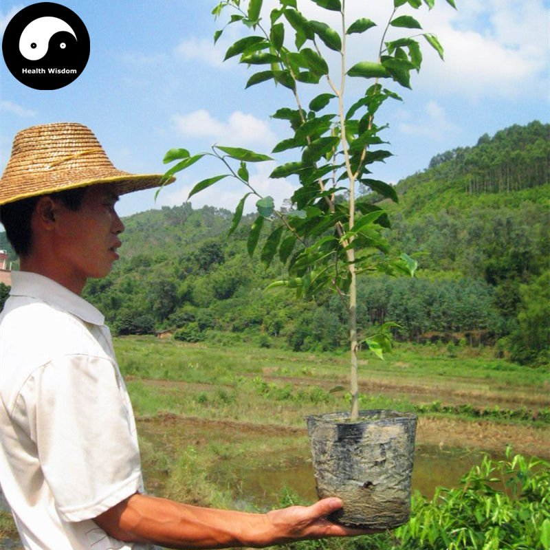 Buy 100% Real Aquilaria Sinensis Tree Seeds 30pcs Grow Agarwood Plant Scented Incense Wood Chenxiang