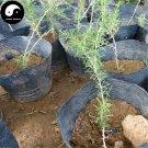Buy Real Black Goji Berry Tree Seeds 400pcs Plant Chinese Black Wolfberry For Black Goji Berries