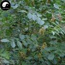 Buy Licorice Seeds 100pcs Plant Glycyrrhiza Glabra For Root Herb Gan Cao