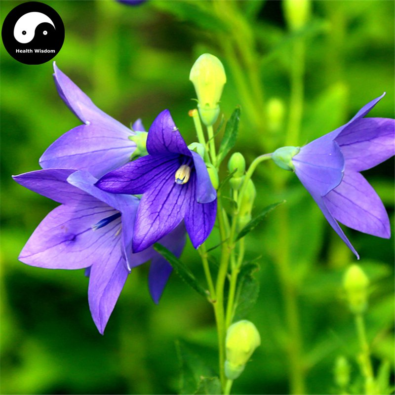 Buy Platycodon Grandiflorus Seeds 100pcs Plant Bellflower For Herb Jie Geng