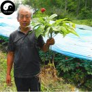 Buy Real Panax Ginseng Seeds 100pcs Plant Tonic Herb White Ginseng For Renshen