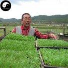 Buy Real Peru Maca Seeds 400pcs Plant Lepidium Meyenii Walp For Peruvian Ginseng