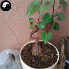 Buy Real Polygonum Multiflorum Seeds 50pcs Plant Herb He Shou Wu For Fo-Ti