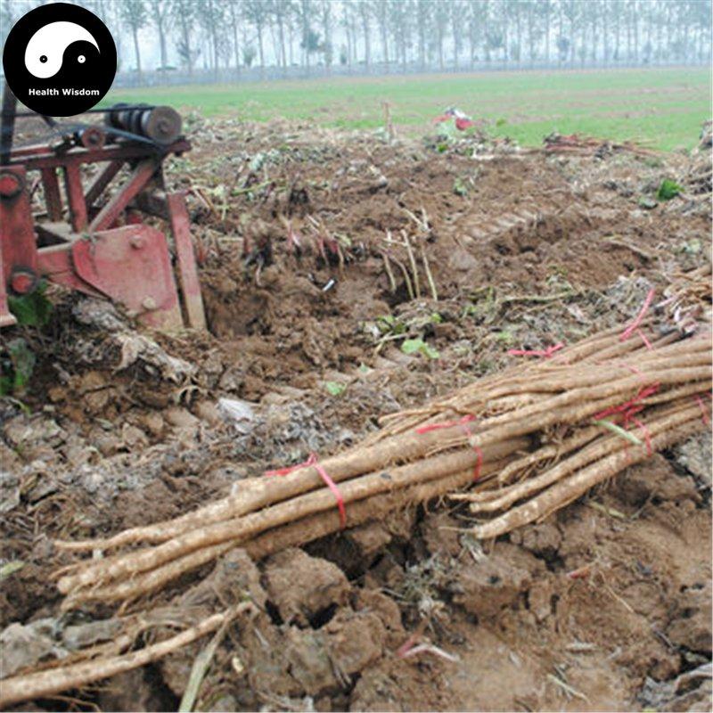 Buy Burdock Seeds 200pcs Plant Herb Arctium Lappa For Burdocks Roots Niu Bang
