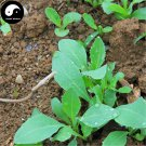 Buy Radix Isatidis Seeds 100pcs Plant Herb Ban Lan Gen For Root Isatis Tinctoria