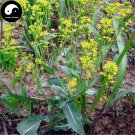 Buy Radix Isatidis Seeds 200pcs Plant Herb Ban Lan Gen For Root Isatis Tinctoria