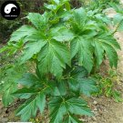 Buy Angelica Seeds 200pcs Plant Herbal Angelica Dahurica For Root Bai Zhi