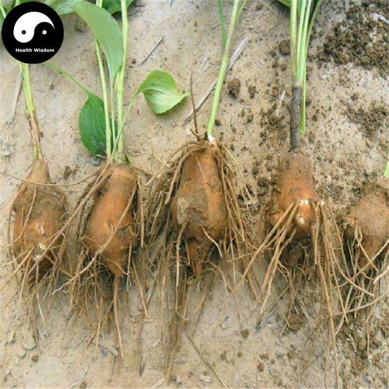 Buy White Atractylodes Seeds 200pcs Plant Baizhu For Root Atractylodes Rhizome