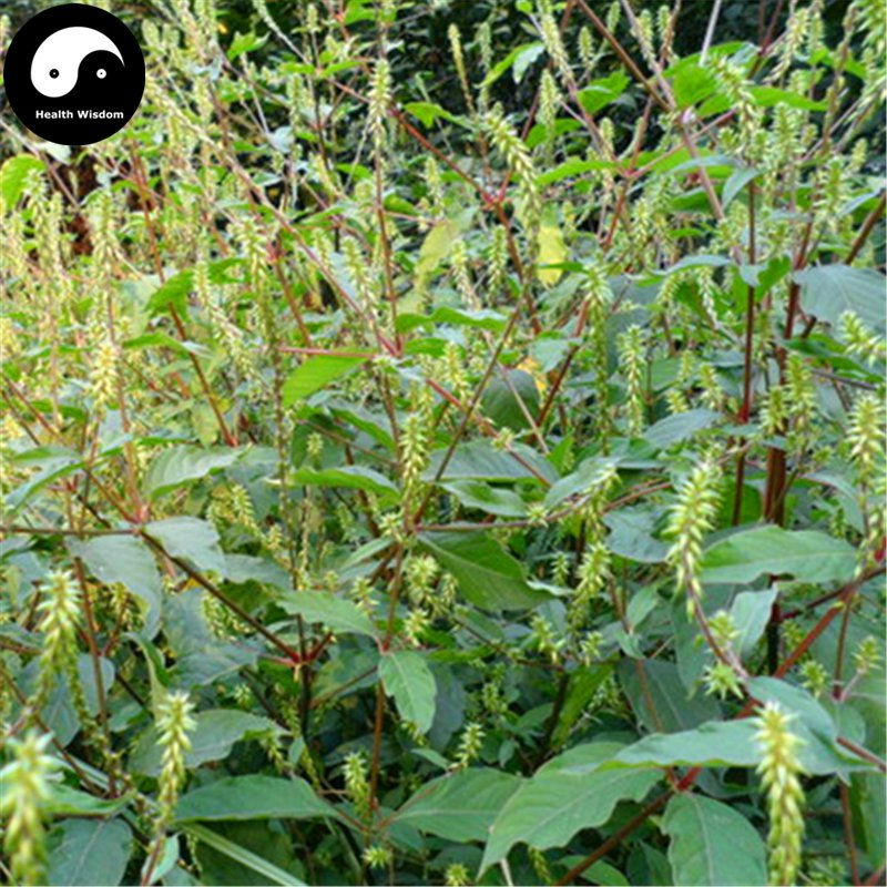 Buy Cyathula officinalis Seeds 100pcs Plant Achyranthes For Root Niu Xi