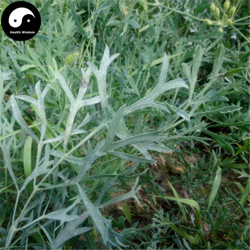 Buy Divaricate Saposhnikovia Seeds 200pcs Plant Saposhnikoviae For Bei Fang Feng