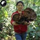 Lucid Ganoderma 500g Dried Chinese Mushroom Ping Gai Ling Zhi Shu She Lingzhi